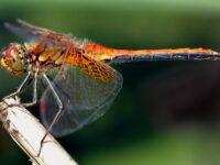 La libélula, uno de los depredadores más hábiles del planeta, podría aportar sus habilidades a los misiles